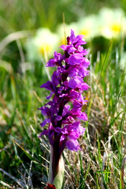 Orchid, Isle of Barra