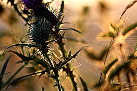 Thistles with spider