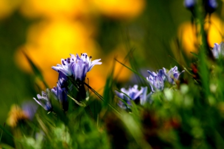 wild hyacinth_Vatersay