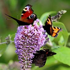Peacock butterflies on buddleia