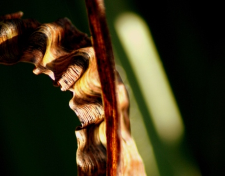 Dying leaves of flag iris