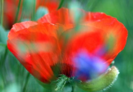 Opium poppy with fringe