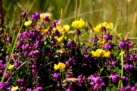 In amongst the heather