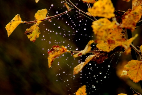 Spider's web on birch tree
