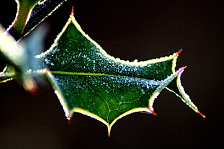 Frost on holly leaf