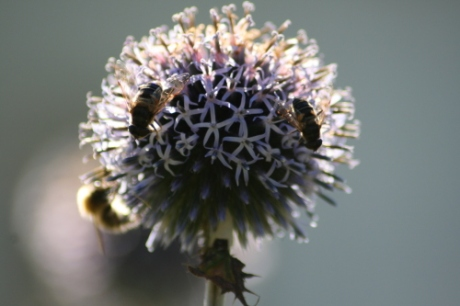 On top of an onion flower