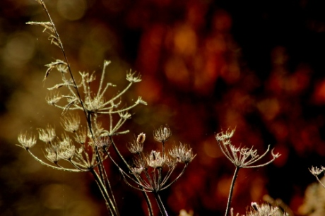 Cow parsley with ice and fire