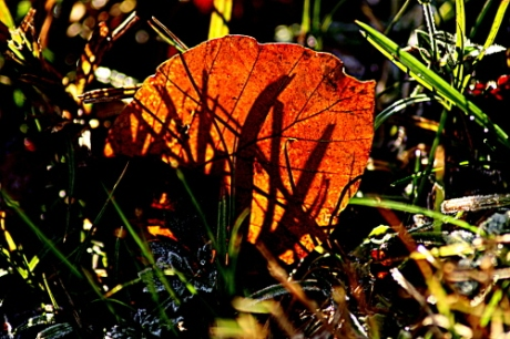 Bright red leaf caught in frosty sunshine .. (1)