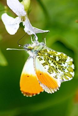 Orange tip with wild flowers