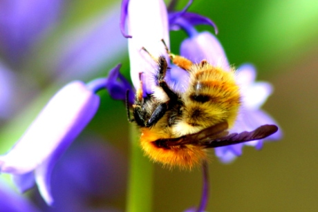 Bumble bee with bluebell