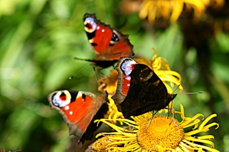 Peacock butterflies on sunflower